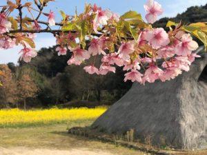 河津桜‗弥生のムラ